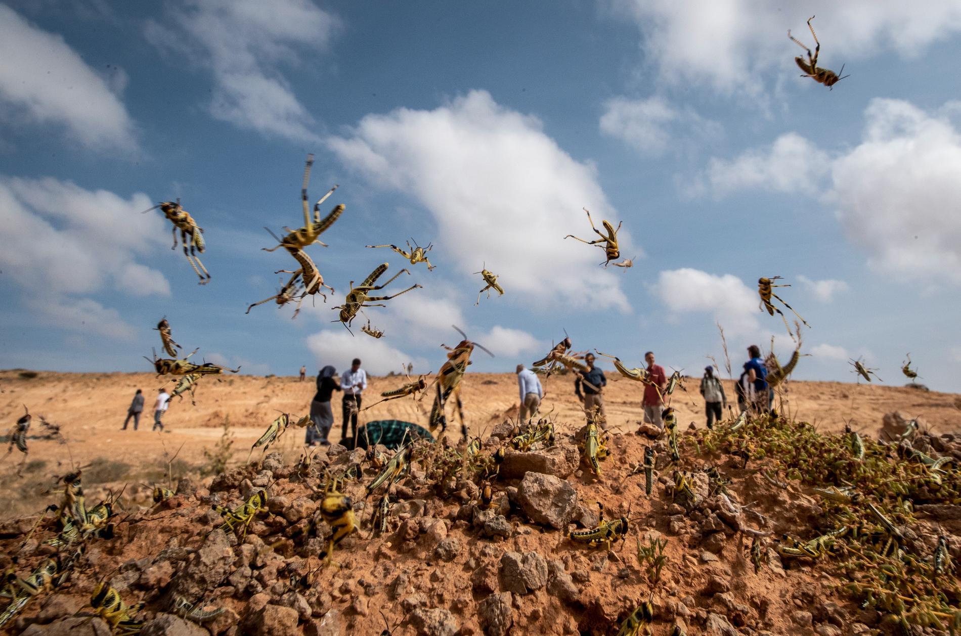 Gräshoppor i Somalia i början av februari.