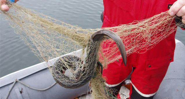 Den akut hotade ålen ska inte få fiskas mellan november och januari, föreslår Havs- och vattenmyndigheten. Arkivbild.