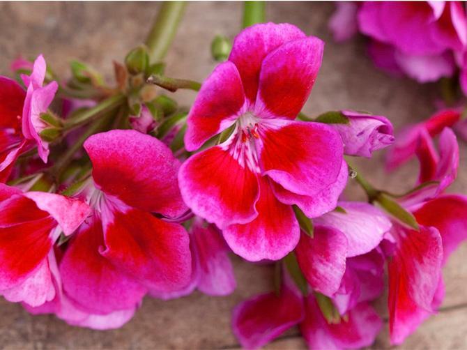ROSA SKÖNHET Tango Deep Rose With Eye är årets pelargon.