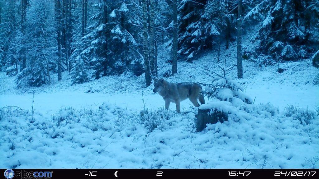 Skånsk varg fotograferad med viltkamera. Arkivbild.