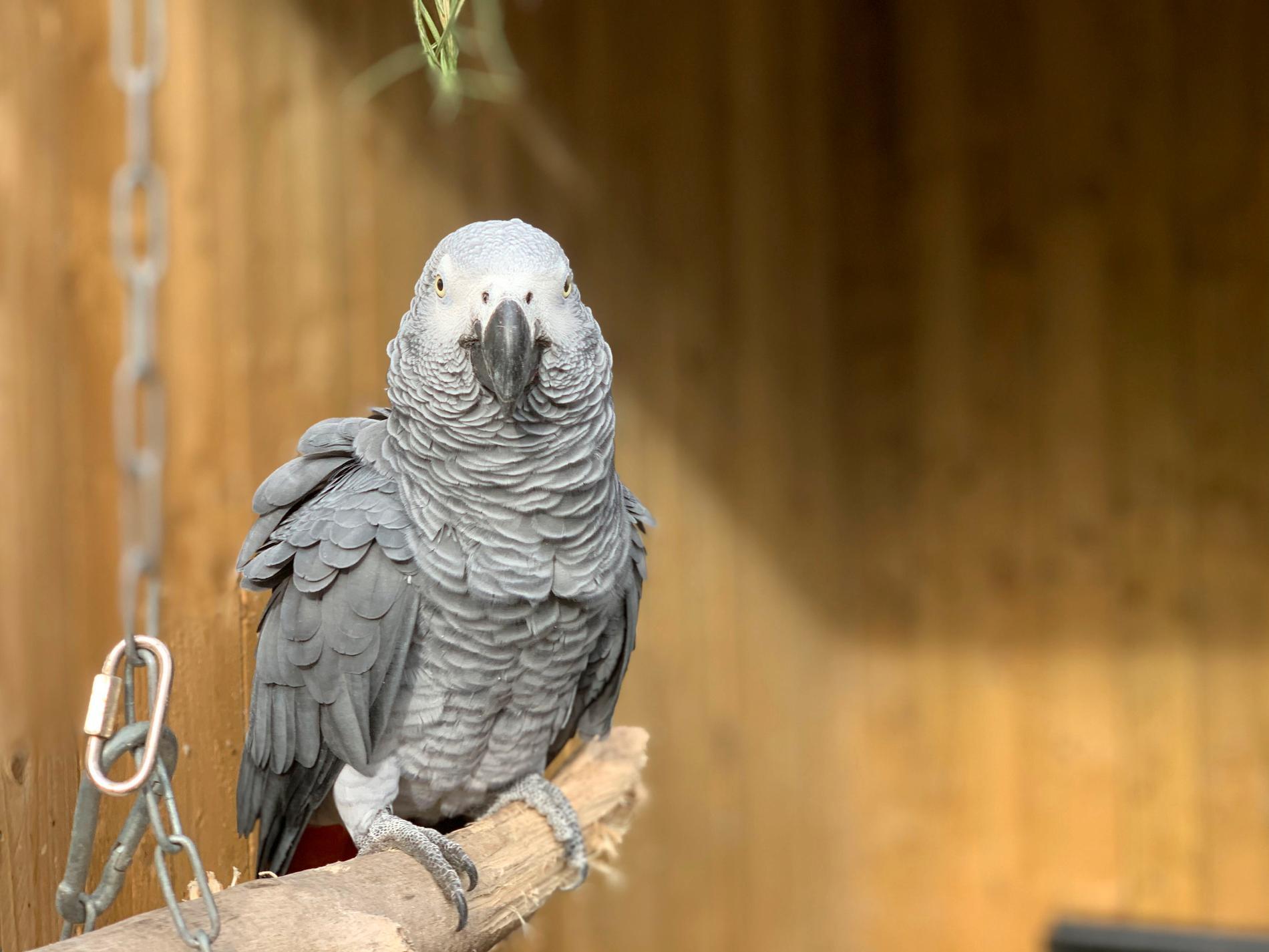 En av papegojorna från Lincolnshire wildlife park.