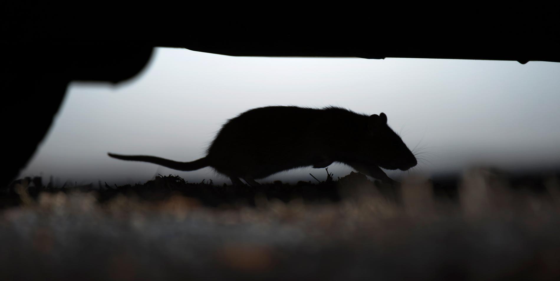 Råttor är ett växande problem i Göteborgsområdet. I fjol fångades över 100000 råttor och möss i Göteborg med kranskommuner. Arkivbild.