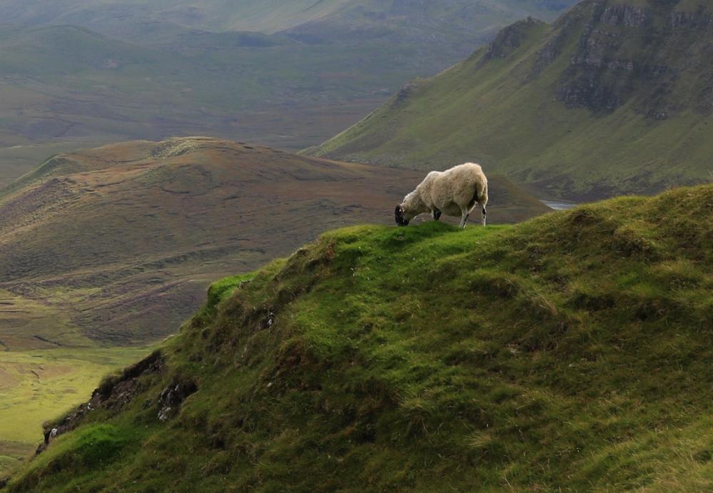 Överallt syns fåren som levererar ull till tweeden.