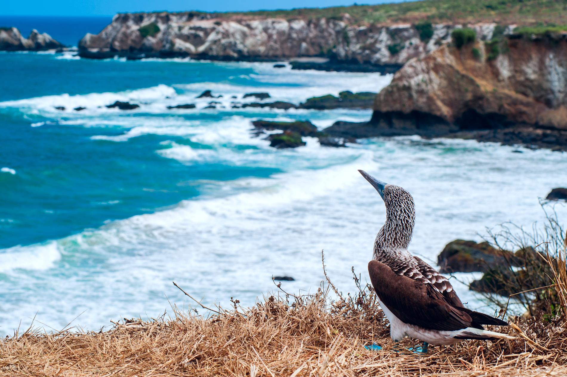 Isla de la Plata är ett billigare alternativ till Galápagosöarna.