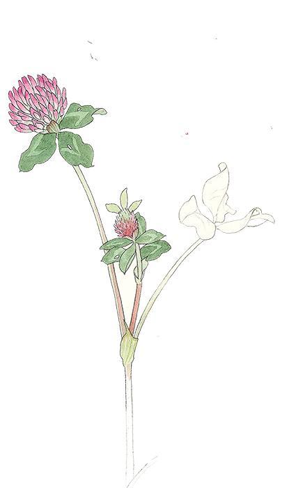 Rödklöver smakar svagt av nektar och passar utmärkt att garnera med.