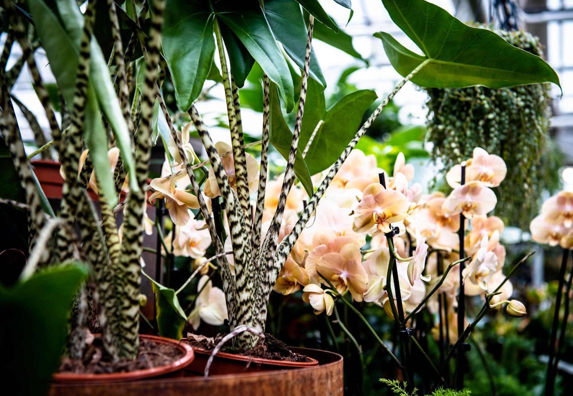 Zebrasköld och orkidé i fin färgharmoni.