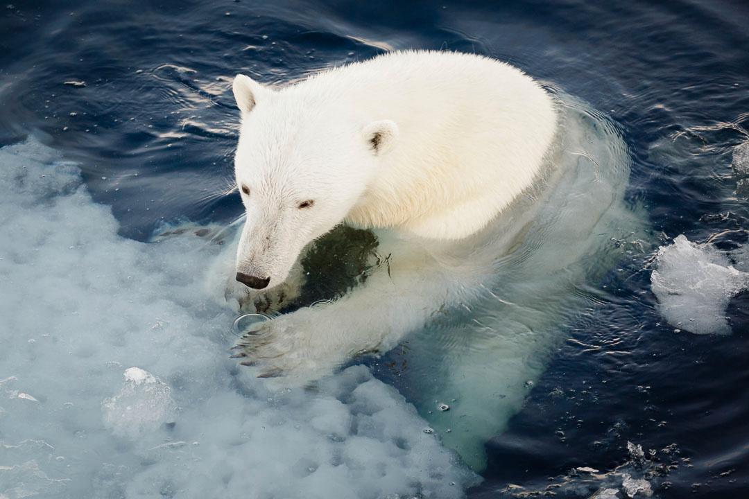 Badande isbjörn. Arkivbild.