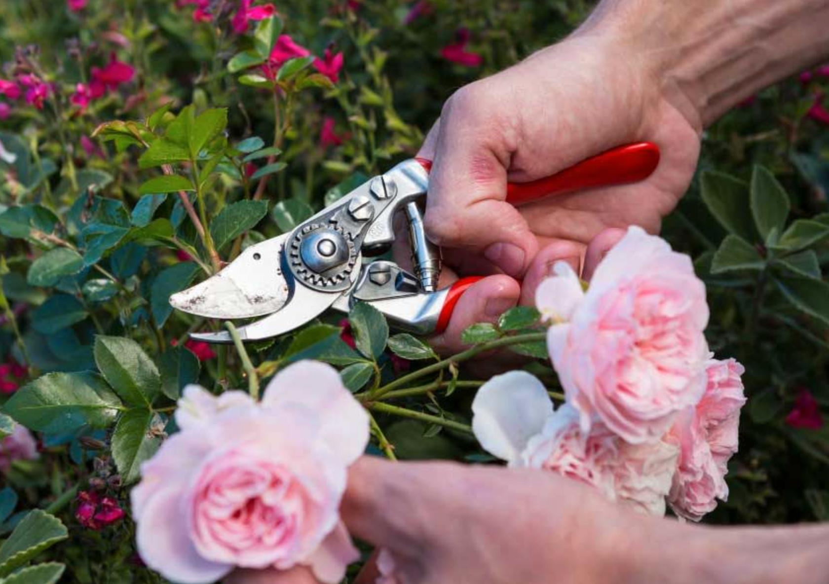 Med en bra sekatör blir det lätt att beskära växter i trädgården.
