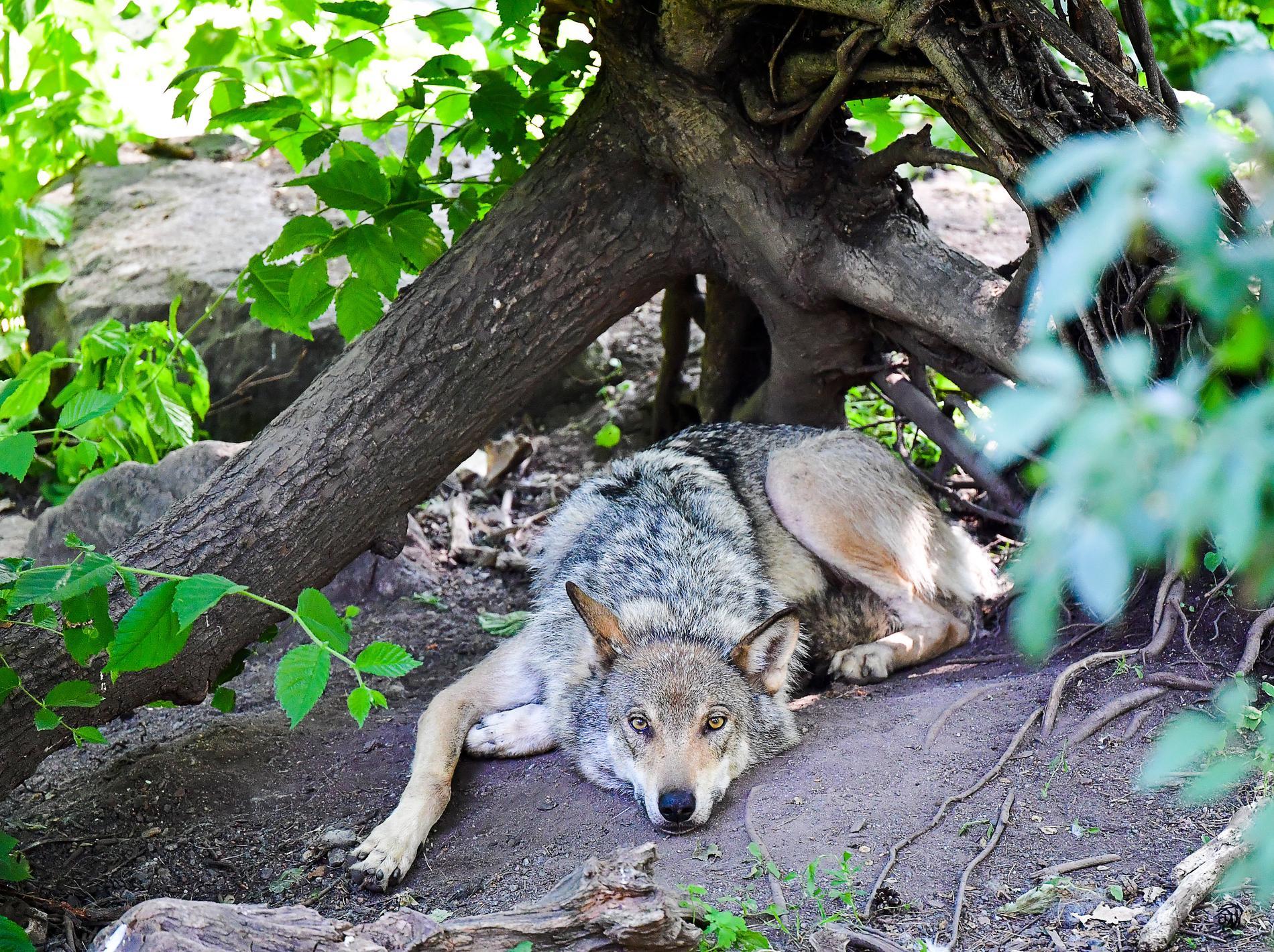 Vargarna på Skansen ska ersättas av fjällrävar.