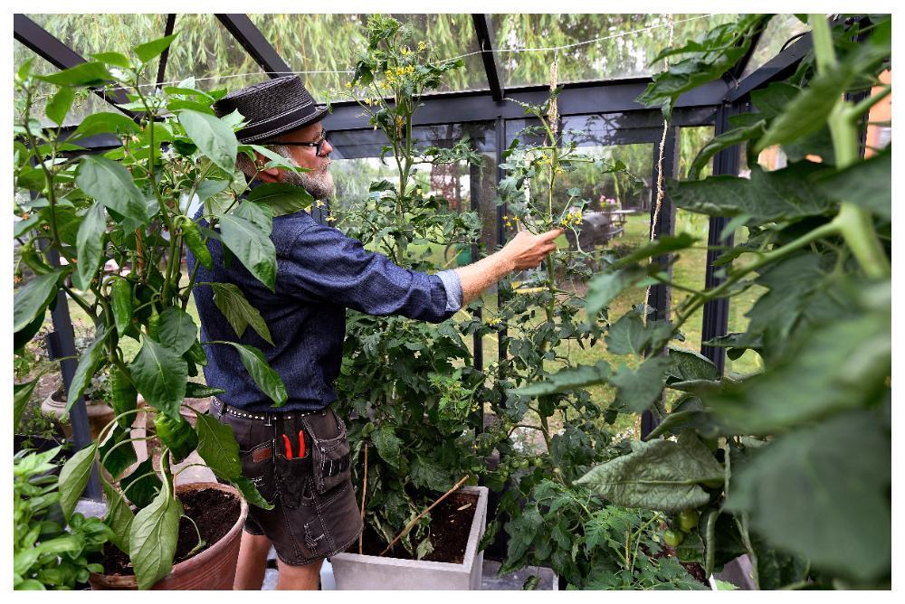 Passa på att titta efter ohyra när du sköter om din tomatplanta.