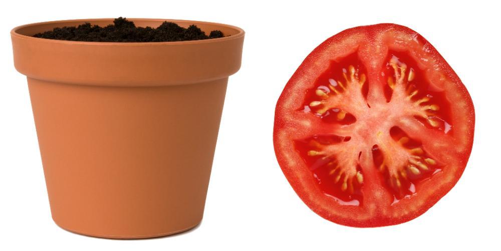 Kruka med jord + tomatskiva = egna tomatplantor