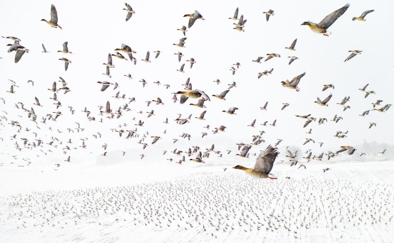 """Vinnarbilden: """"Tusentals spetsbergsgäss på väg till häckningsplatserna på Svalbard. På grund av klimatförändringarna kommer de tidigare varje år och ofta är marken och fälten där de letar föda täckta av snö när de anländer. Gässen brukar använda samma vägar, så när man väntar på dem i luften med en drönare är foton som detta möjligt."""""""