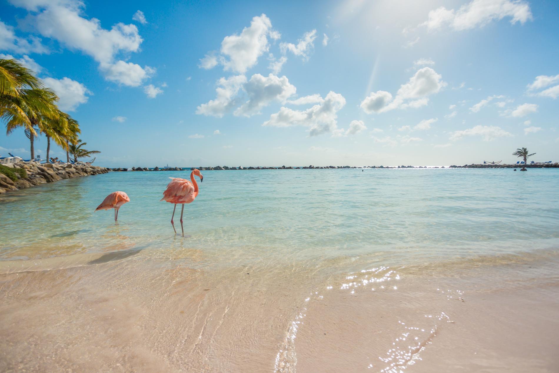 I Aruba finns det förutom sol och värme även en strand full av flamingos.