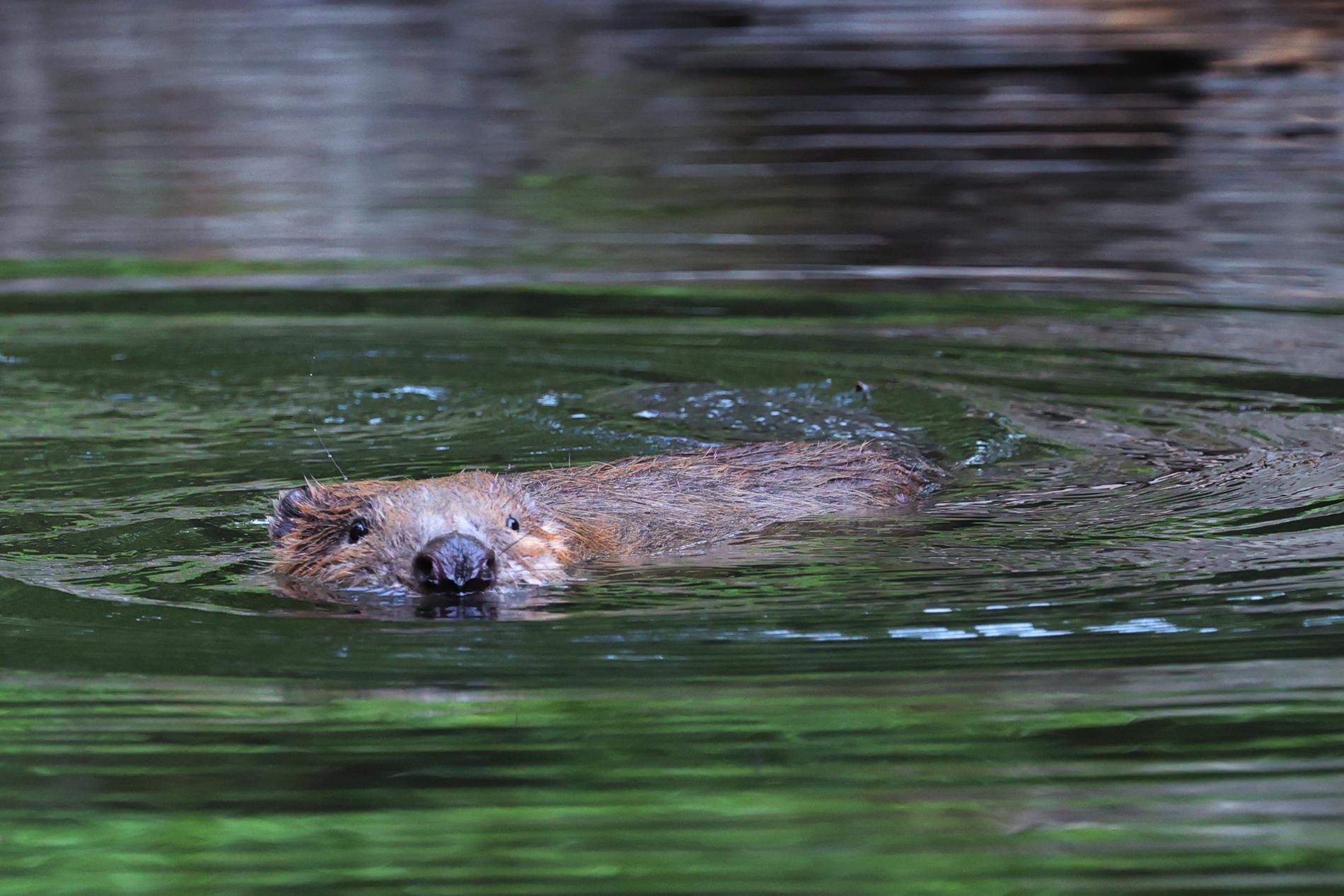 De var fel av länsstyrelsen att bevilja skyddsjakt på en bäver som bitit en simmande kvinna. Detta anser förvaltningsdomstolen. Bäverbilden är tagen i annat sammanhang. Arkivbild