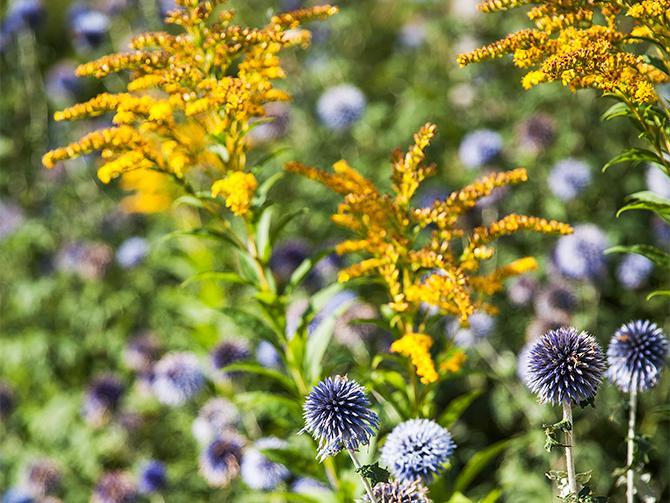 Det finns också plats för blommor i trädgården. Här bolltistel och gullris.