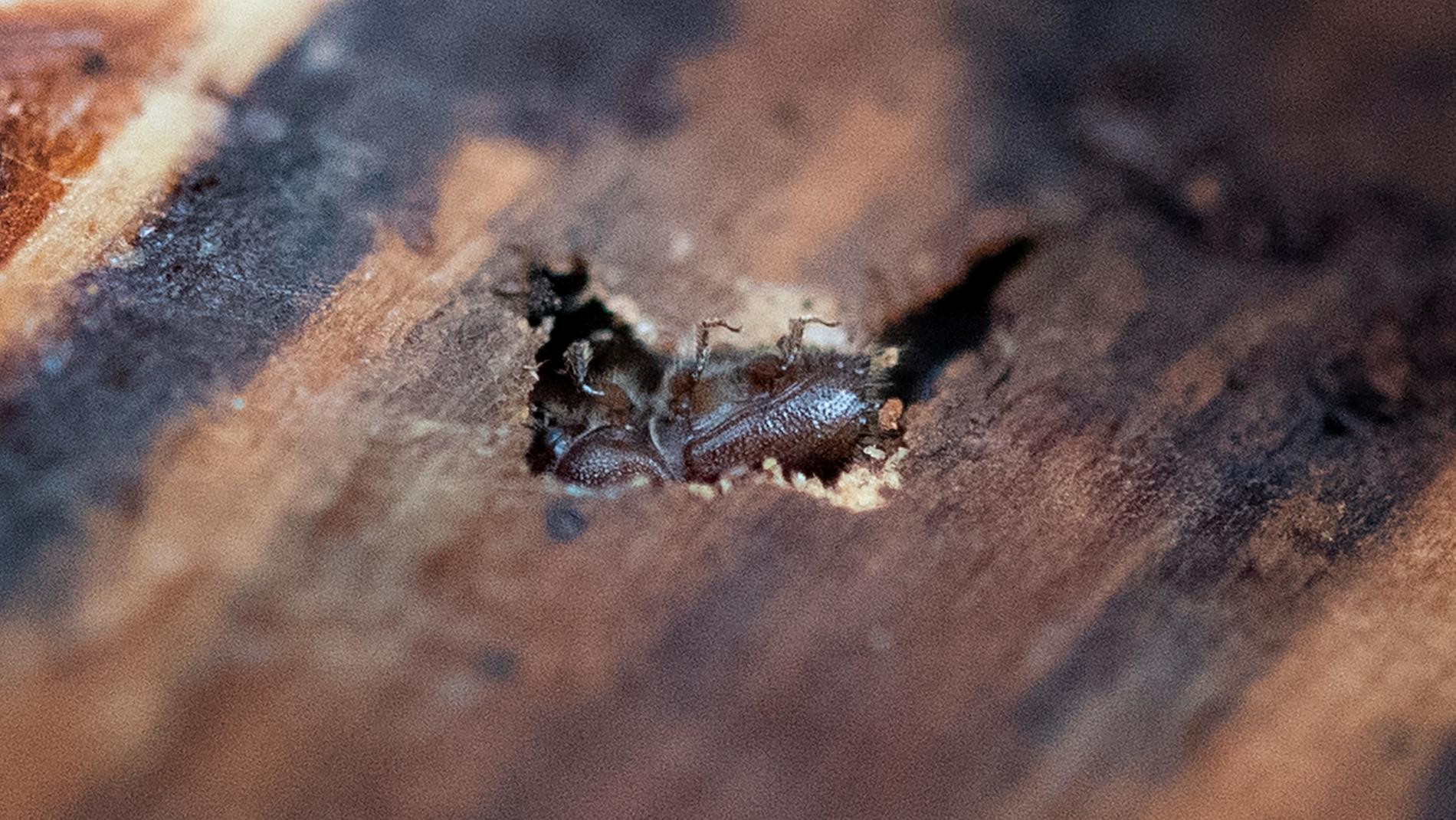 Granbarkborre på väg in i trädstam. Arkivbild.