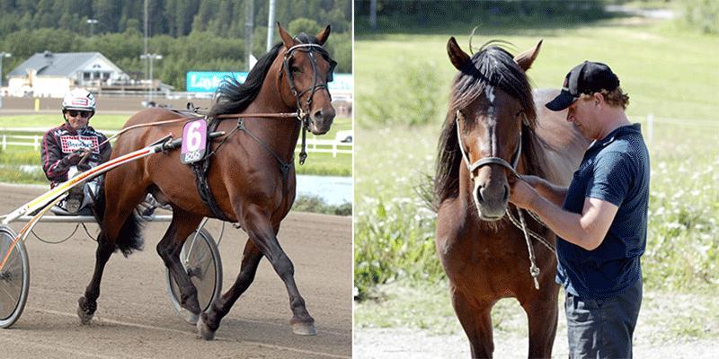 """Nordgubben tjänade 5,4 miljoner kronor under sin karriär – ofta i skuggan av Järvsöfaks. På lördag hedras hästen på V75 med loppet """"Nordgubbens Minne""""."""