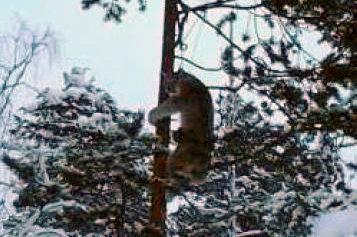 Ett lodjur som fångats och hängts upp i ett träd. Bilden fanns i mobiltelefonen hos en av de misstänkta i rättegången om grova jaktbrott i Norrbotten. Bild ur förundersökningsprotokollet.