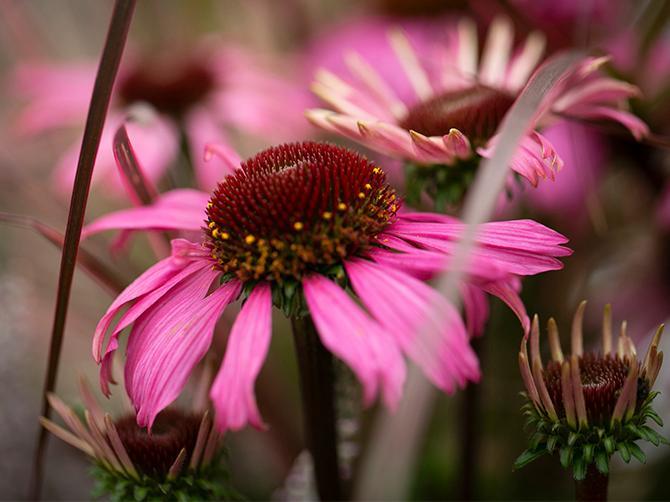 """Röd solhatt: """"Sunseekers pink"""", Echinacea purpurea. ''Rudbeckia är en populär blomma just nu. Den bör sättas ut på en väldränerad plats så klarar den sig i många år""""."""