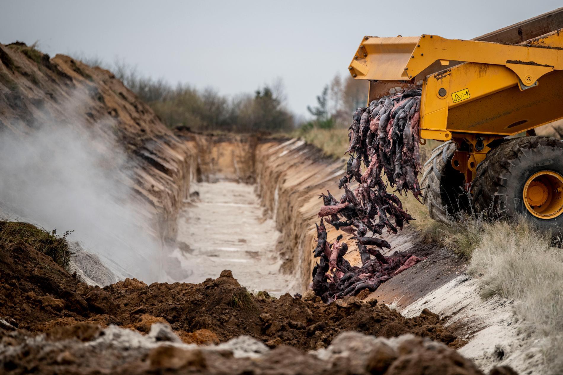 Döda minkar grävdes ner i Danmark efter beslutet att beståndet i landet. Senare fick de grävas upp och skickas till förbränning istället. Arkivbild.