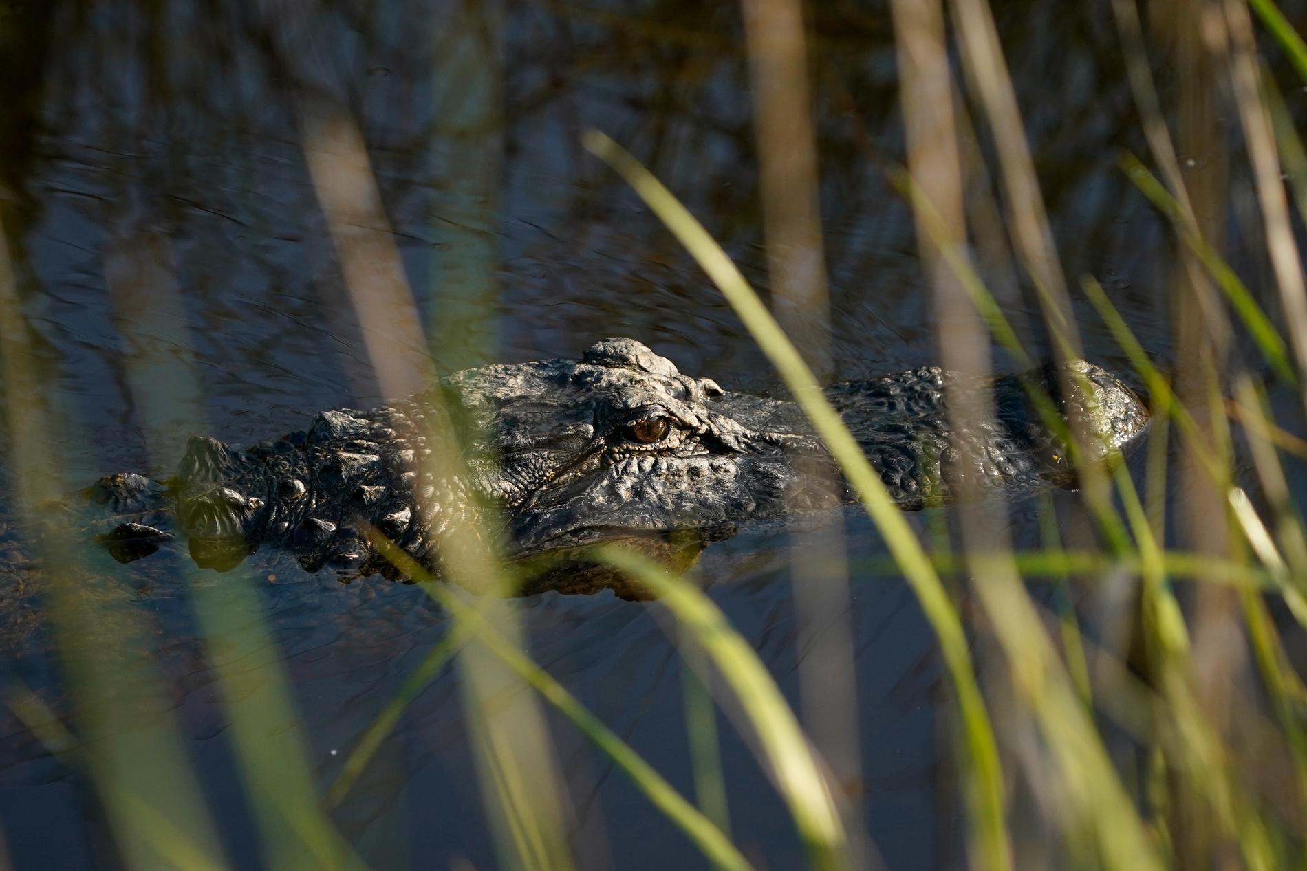 En alligator lurar i vassen. Djuret på bilden är en annan alligator än den nu dödade. Arkivbild.