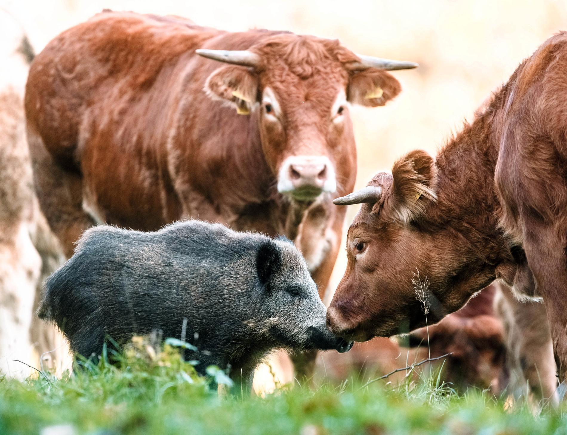 """Vildsvinet """"Bananas"""" har lämnat sitt liv i skogen för att bo med en flock kor."""