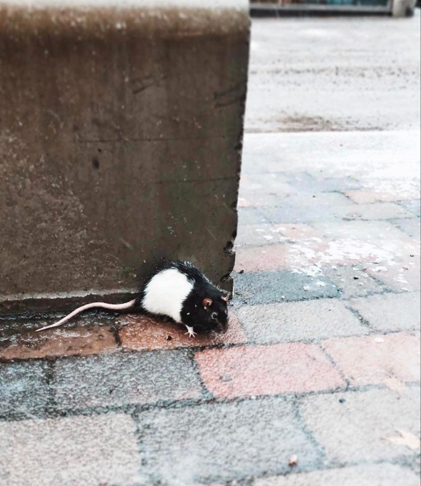 Råttan som Josefine hittade på gatan för knappt två år sedan.