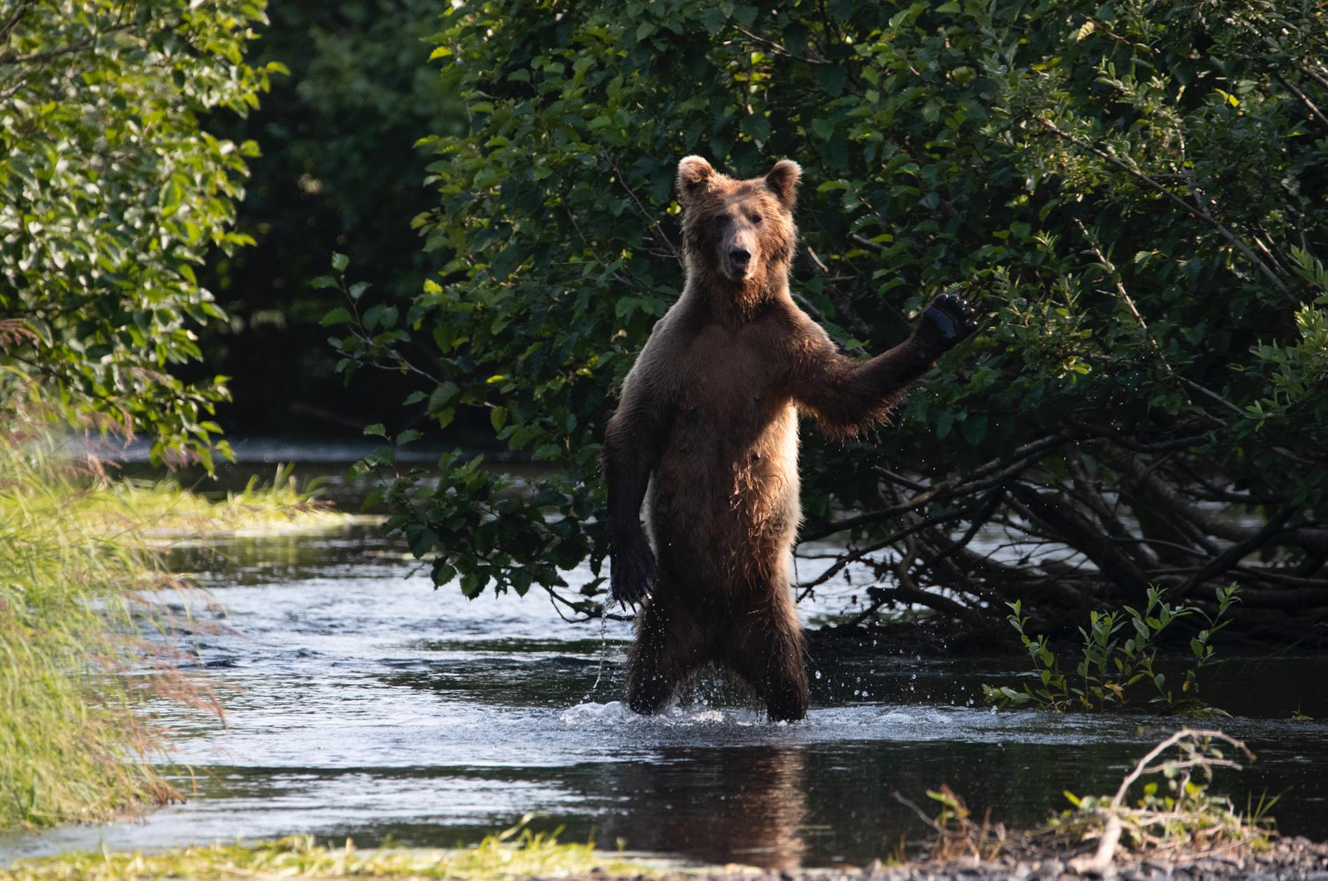 """""""Hi Yall"""". En brunbjörn som vill säga hej i Alaska."""