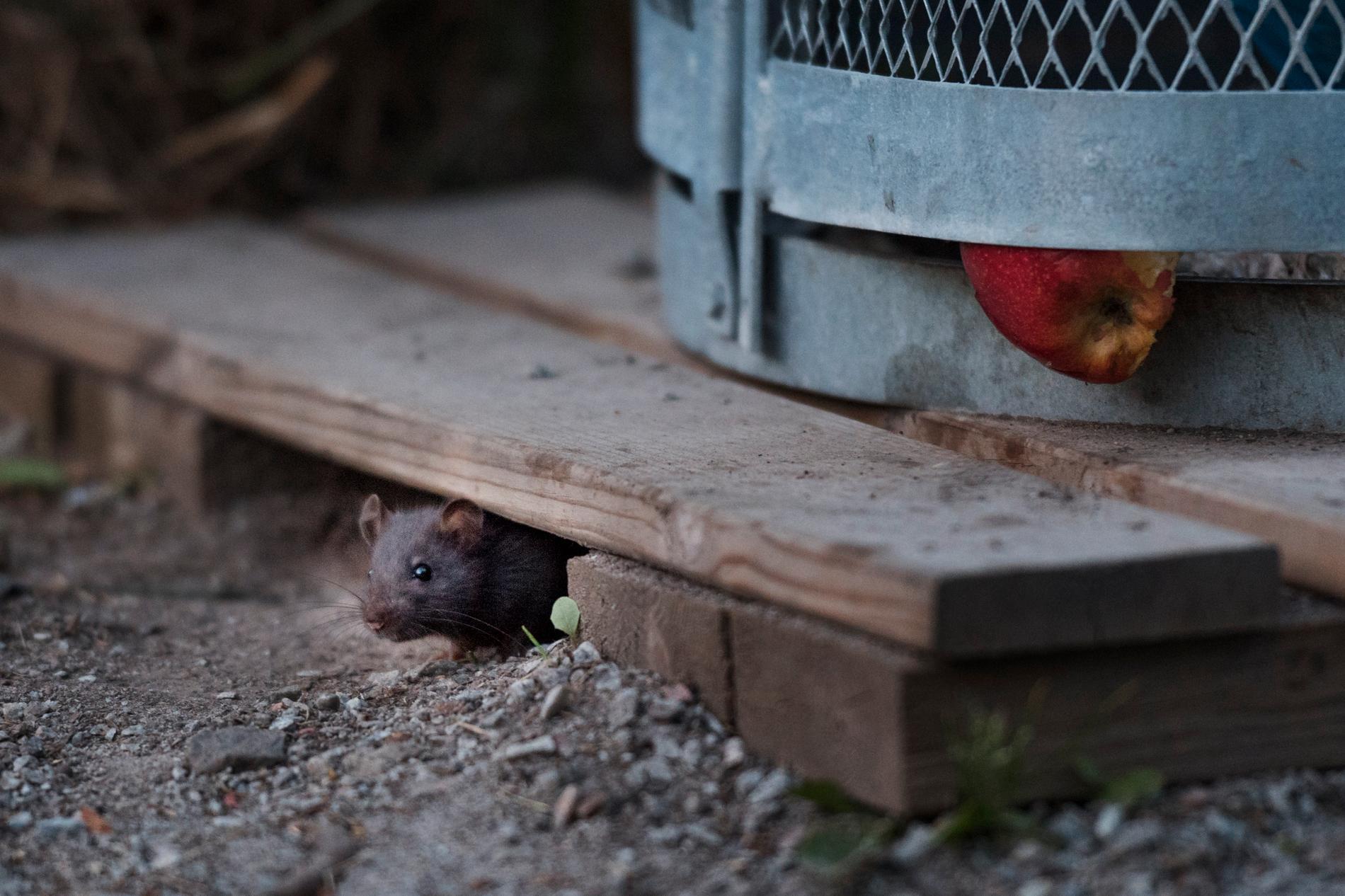 En råtta orsakade ett omkring 90 minuter långt strömavbrott. Arkivbild.