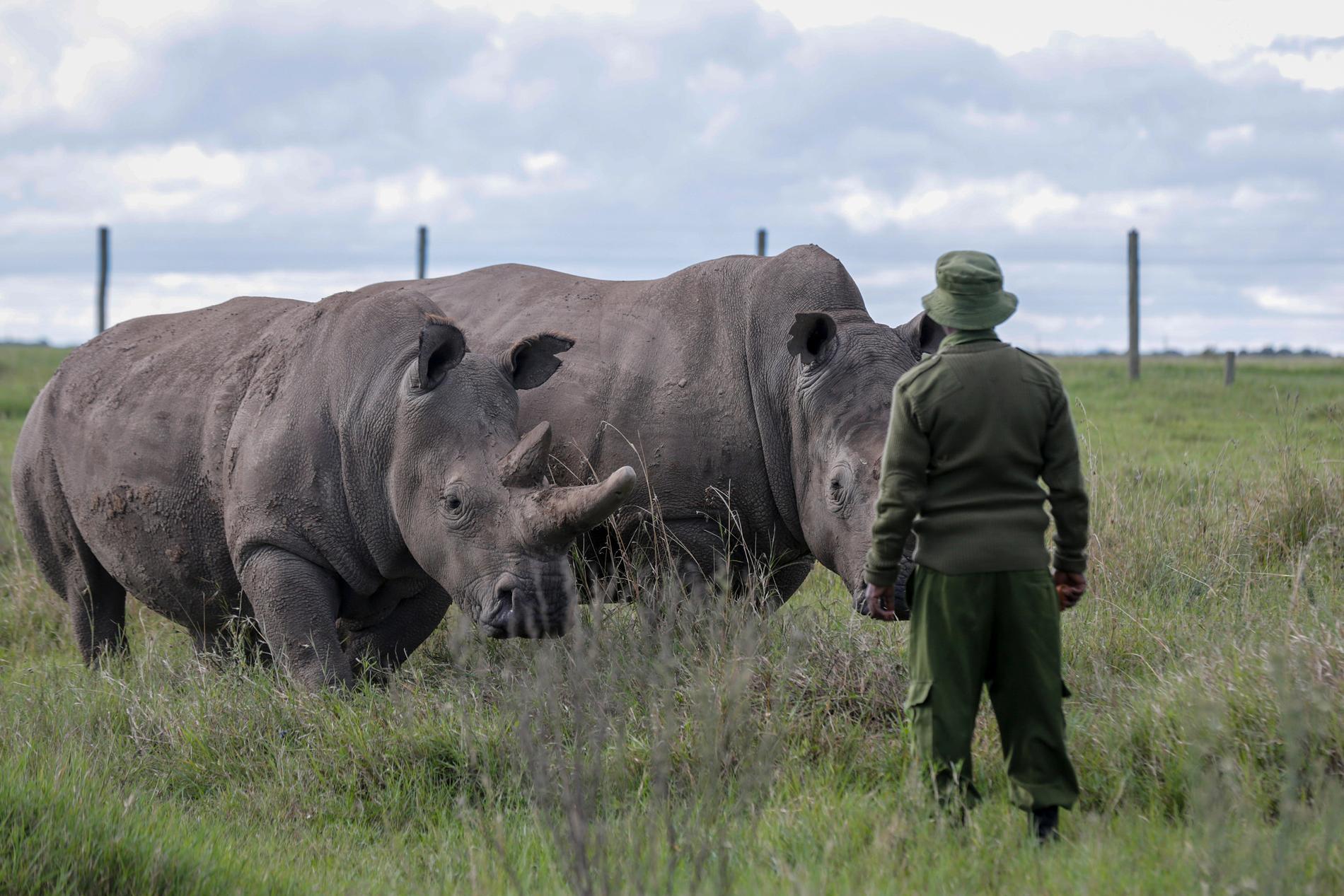 De två sista exemplaren av arten nordlig vit noshörning i ett reservat i Kenya. Fatu till vänster och Najin till höger. Arkivbild
