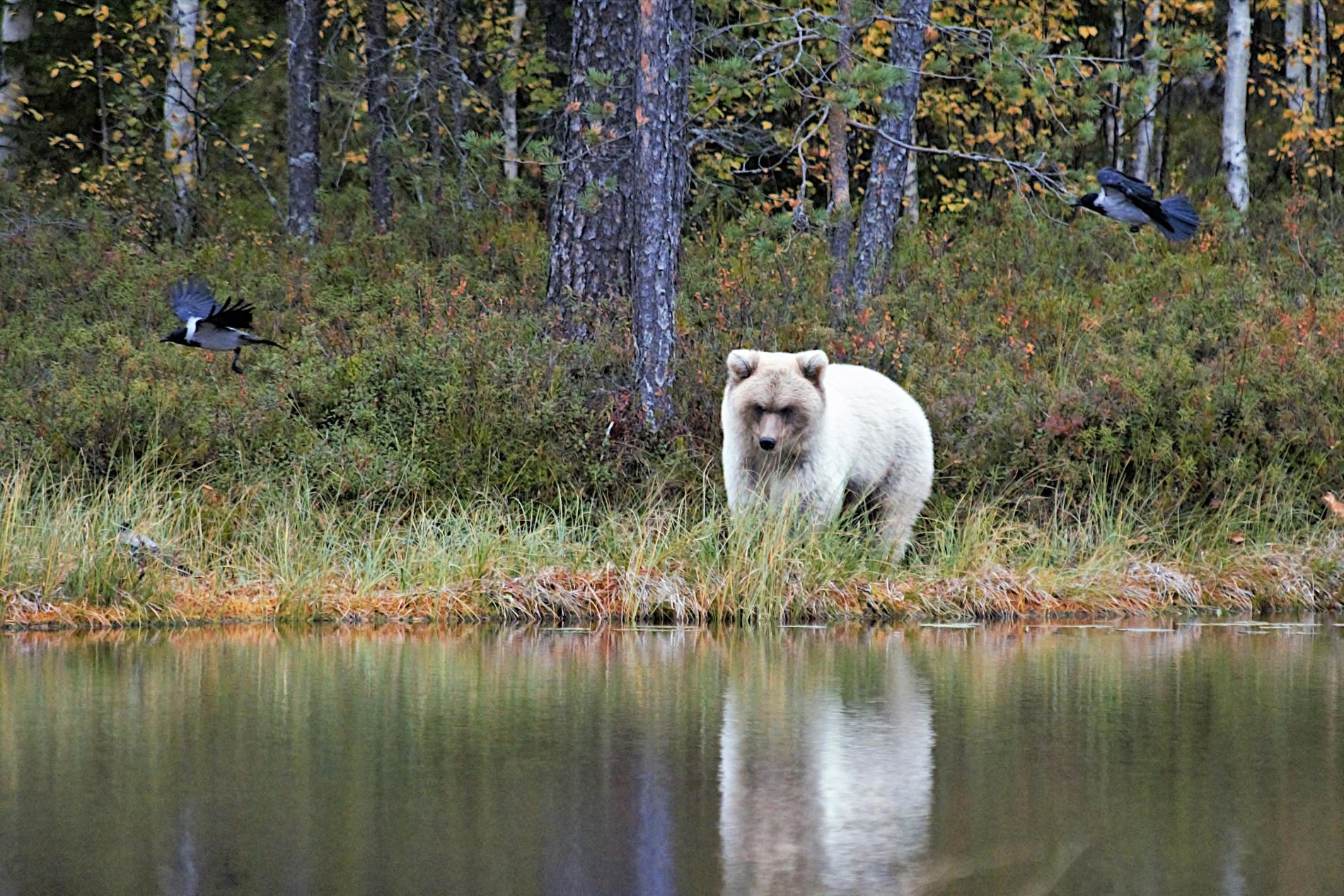 """""""En oförglömlig upplevelse"""", säger fotografen Veijo Toivoniemi efter att ha lyckats fånga den vita björnen på bild."""