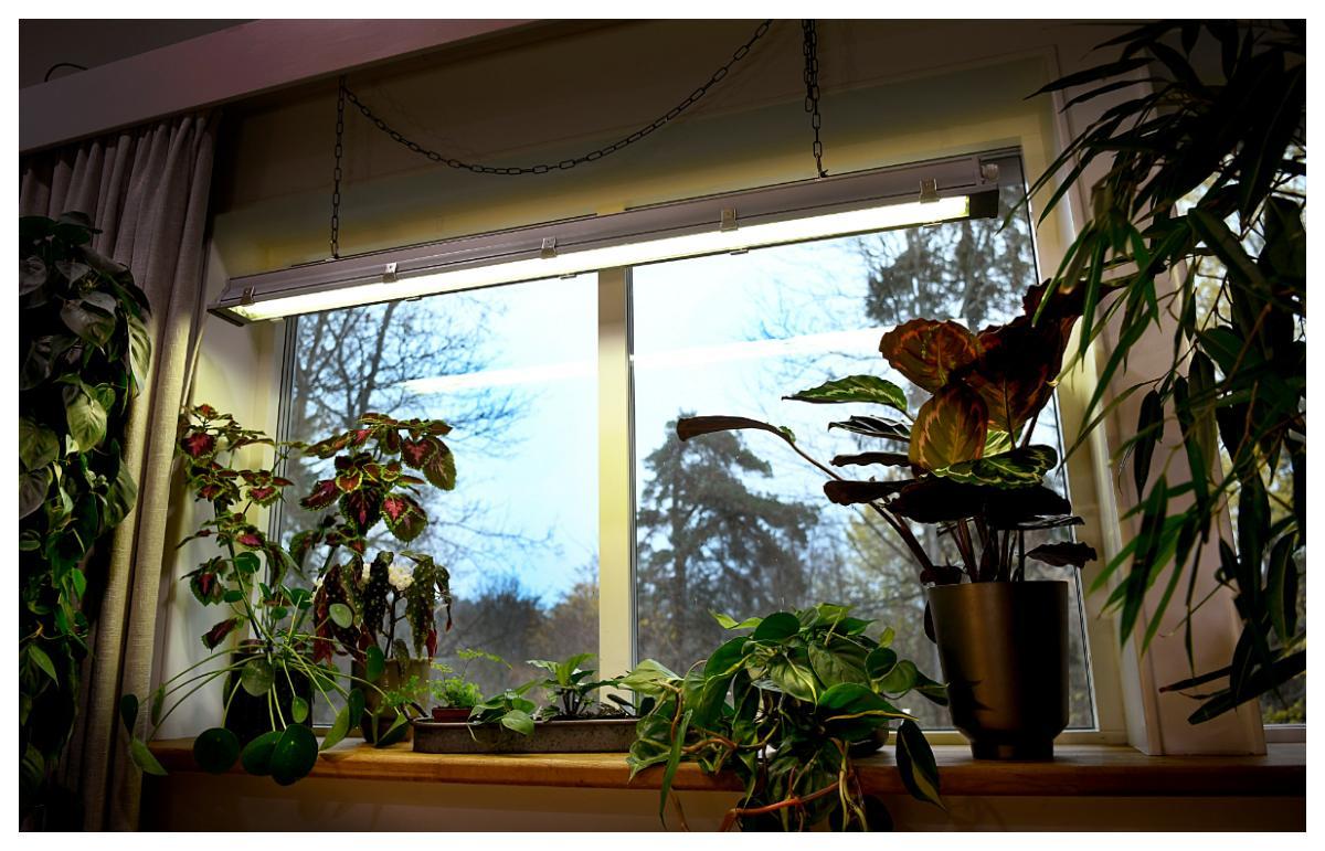 En helt vanlig lysrörsarmatur fungerar utmärkt som växtbelysning under vintern.