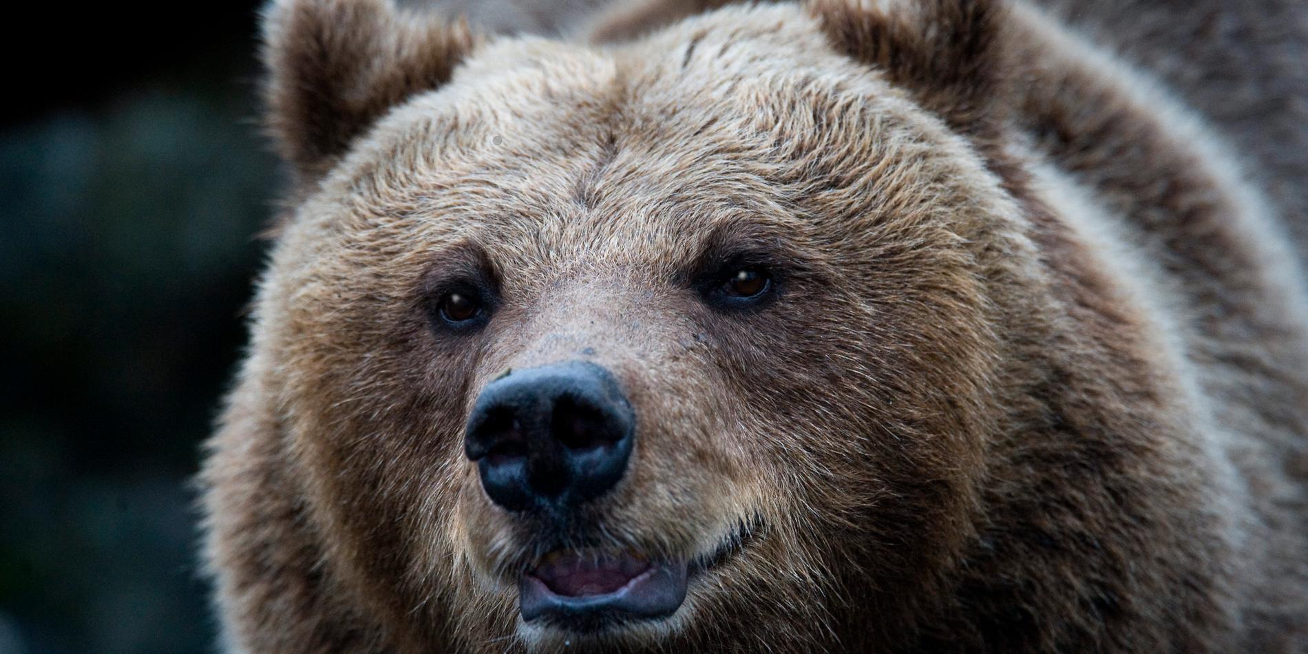 Brunbjörn. Arkivbild.