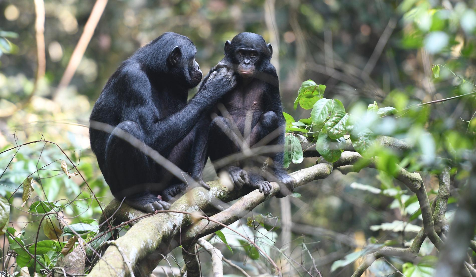 Mammorna till unga dvärgschimpanser gör allt för att deras söner ska få para sig. På så sätt tredubblas sannolikheten för att de ska få barnbarn.