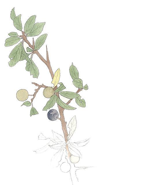 Slånbär kan bli sylt, saft, gelé och likör.