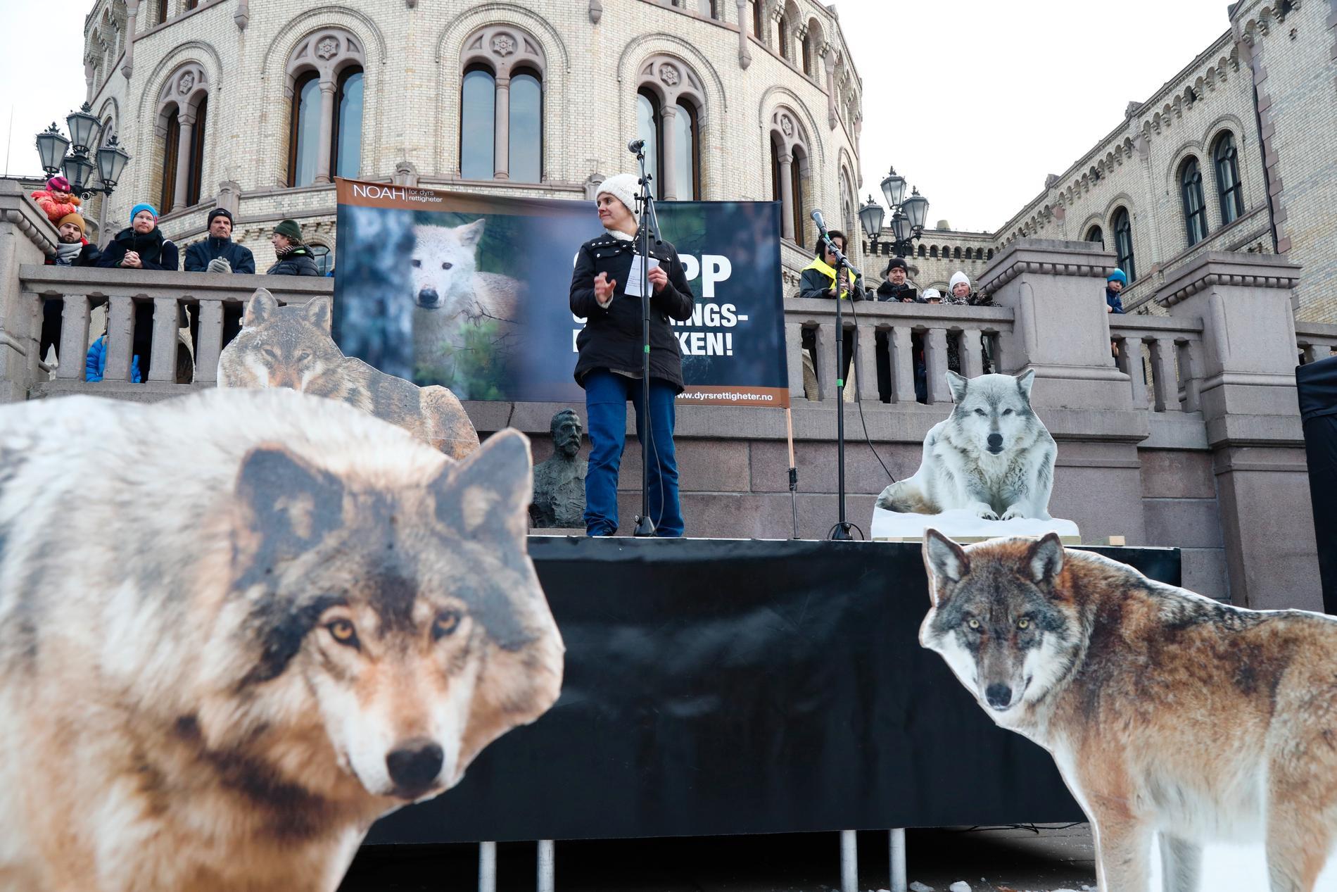 Rovdjuret vargen är kontroversiellt i både Norge och Sverige. Bild från demonstration i Oslo för vargstammens bevarande förra året.