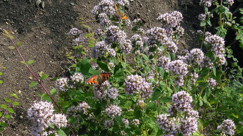 Nässelfjärilarna trivs i syrenbusken hos Ann-Kristin. Det är en av de absolut vanligaste fjärilsarterna och precis som namnet antyder uppskattar nässelfjärilen brännässlan. På undersidan av växtens blad lägger den sina ägg.