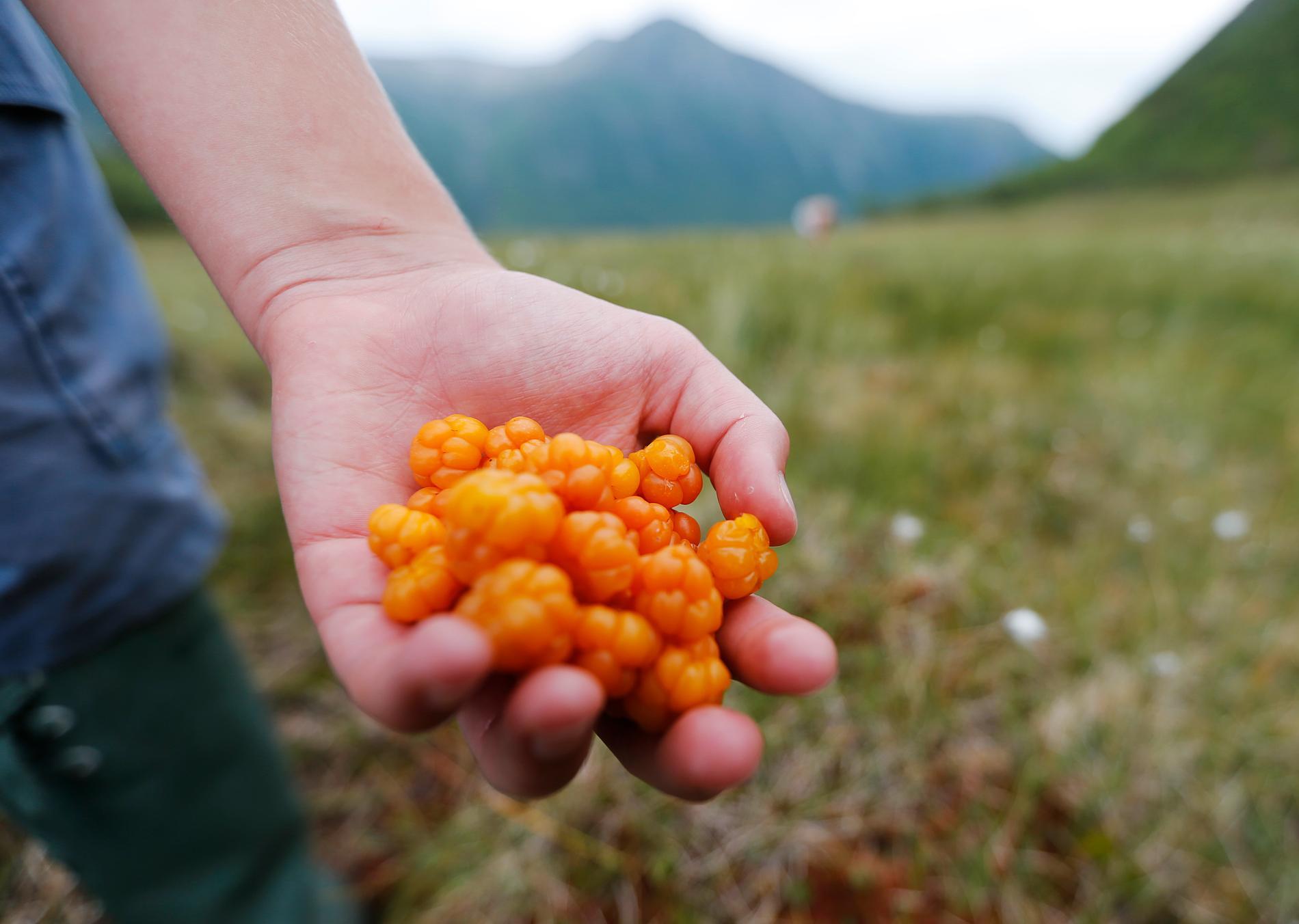 Hjortronen finns i rikliga mängder på många platser i landet vilket hör till ovanligheterna, enligt bärföretagaren Sylve Björkman.