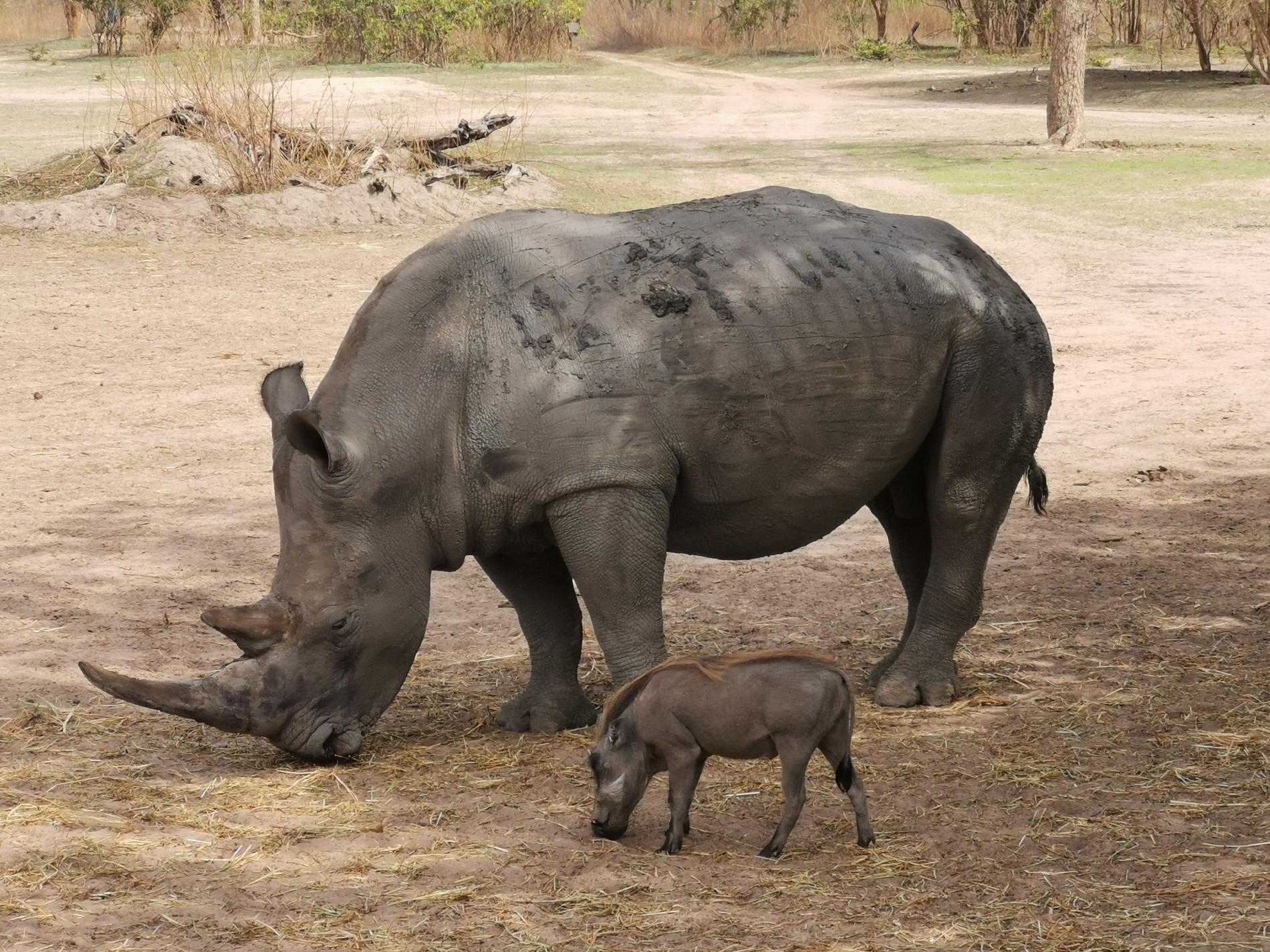 I Fathala finns endast en noshörning – och han heter Kevin.