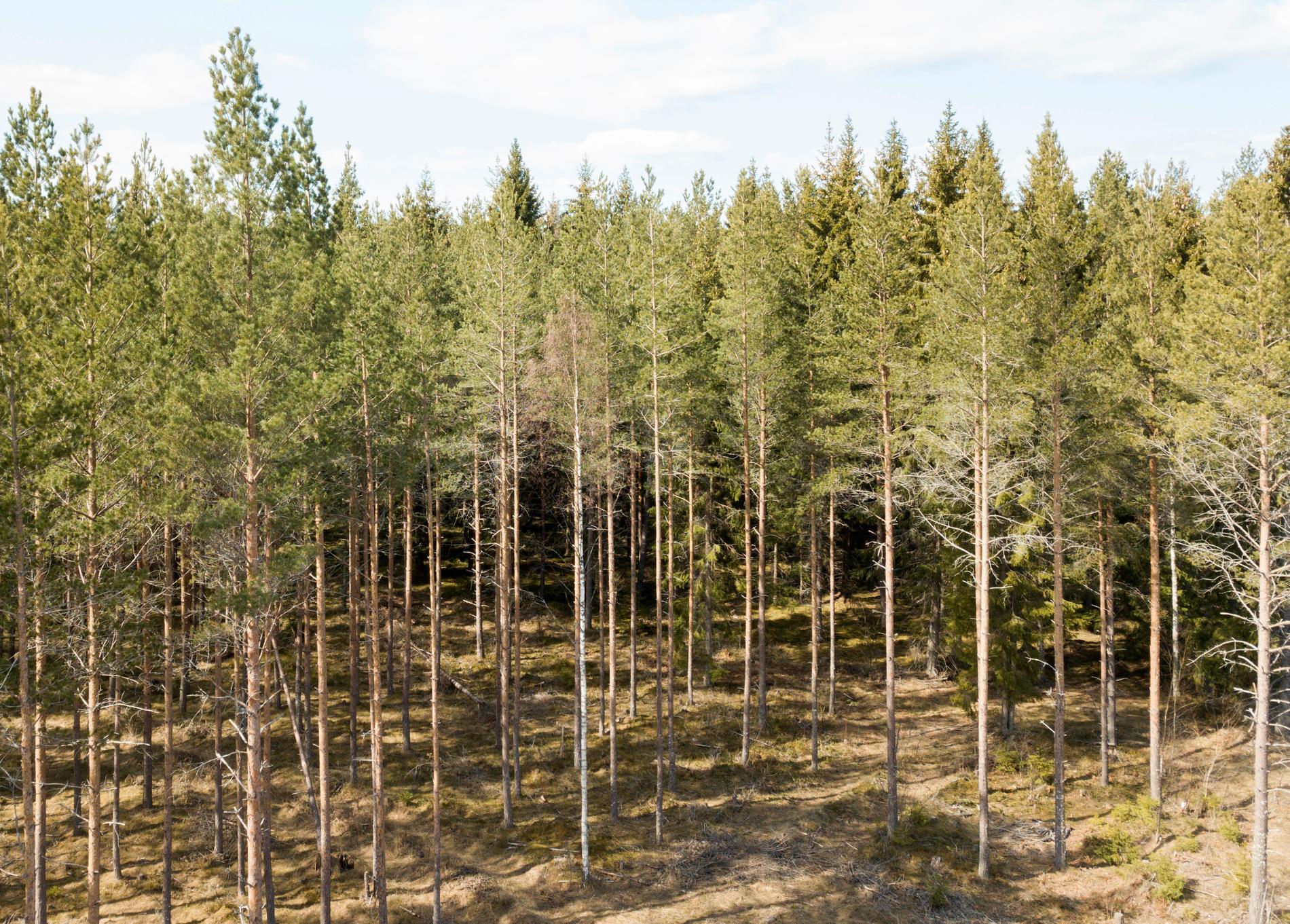 Tallar i en skog i norra Uppland.