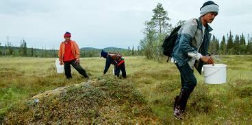 snabbast på myren Thailändarna plockar fort, fort och mycket koncentrerat. Genom flit och uthållighet - och 15 timmars arbete sju dagar i veckan - kan de tjäna 15 000 kronor på en bärsäsong.