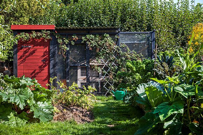 Vaktelhuset är på åtta kvadratmeter. Vaktlarna i trädgården ger färska ägg. Just den hönsfågeln passar bra i villaträdgården för att de inte kräver lika mycket utrymme som vanliga höns och för att tuppen nästan inte hörs.
