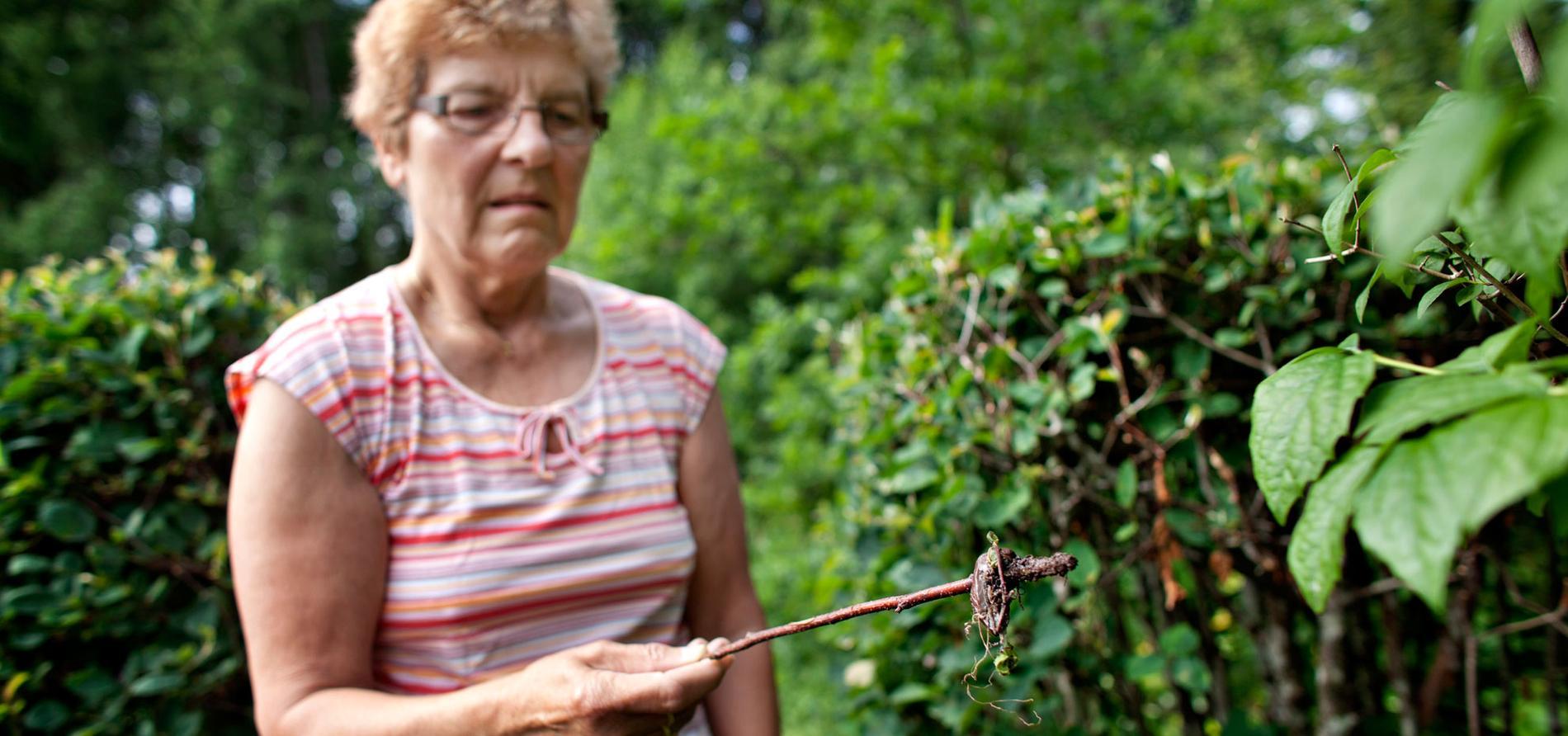 VISAR INGEN NÅD. Hilkka Risberg, 67, håller rent från mördarsniglar i trädgården i Gävle. Dessutom slår hon ihjäl sniglarna hon hittar på sina promenader.