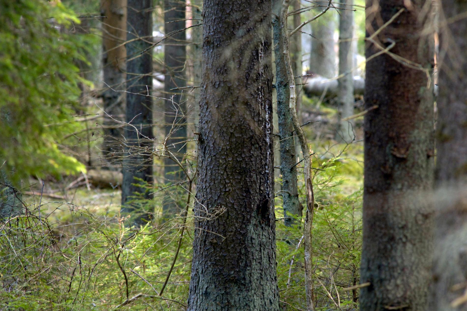 Sveriges högsta träd, Mölnbackagranen, har dött (ej granen på bilden). Arkivbild.