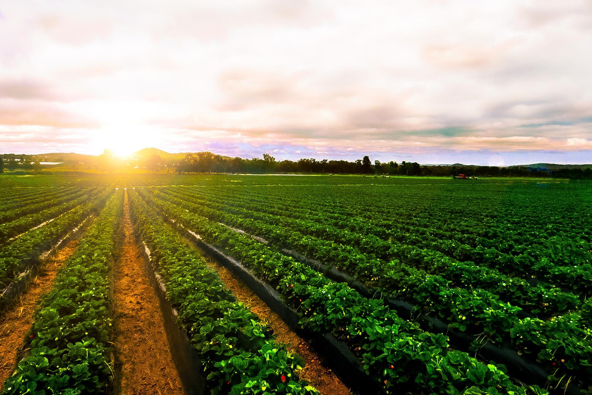 Odlingar i solnedgången.