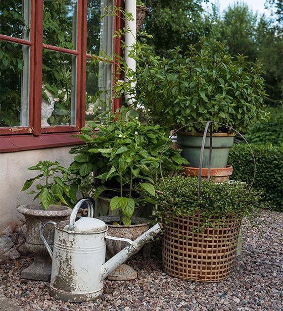 Krukodlade växter är lätta att flytta in och ut från växthuset, och gör det enkelt att arrangera vackra grupper med olika bladverk och höjd.