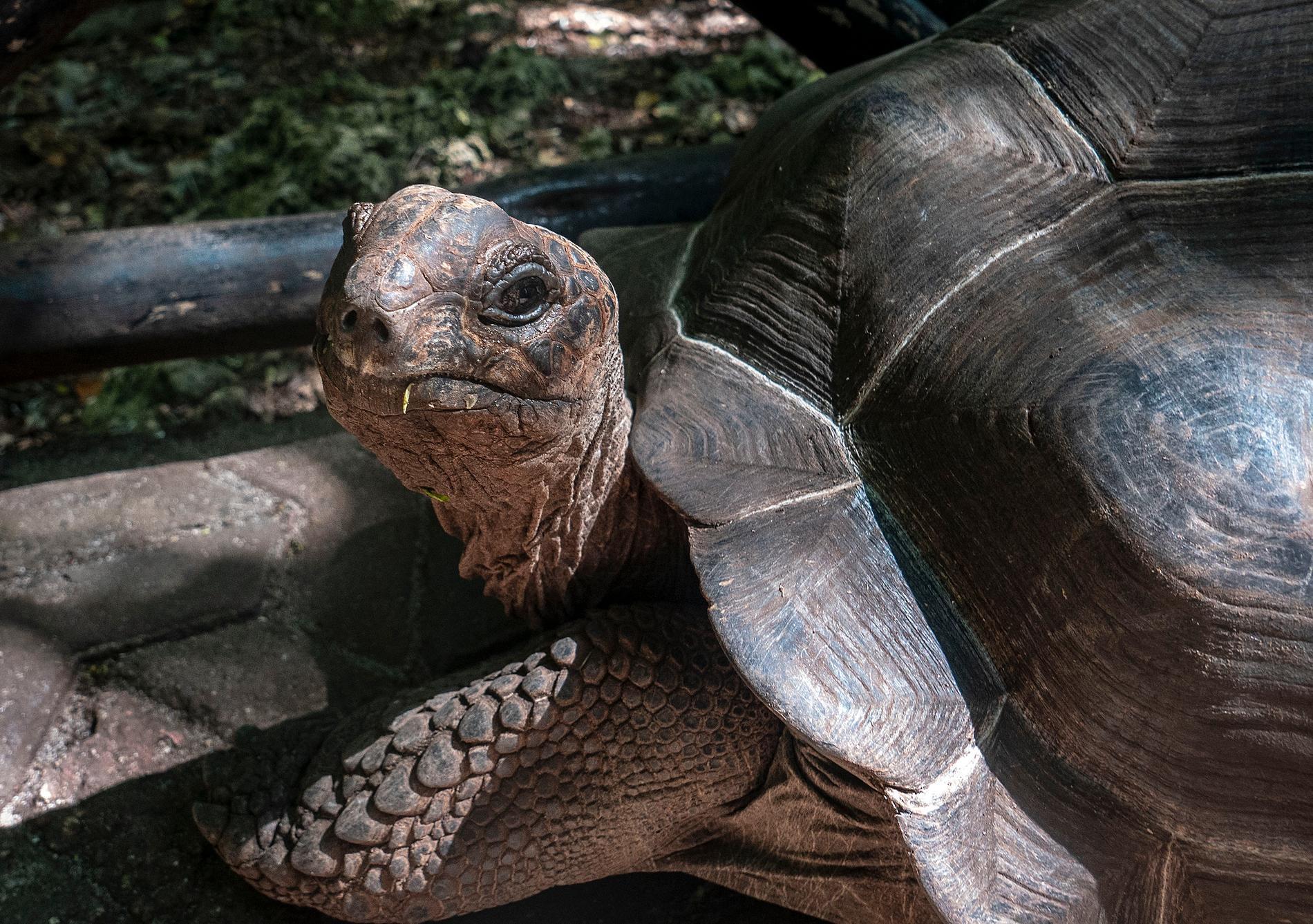 Arkivbild. Sköldpaddan på bilden bor i Zanzibar city och har aldrig varit i Getamåla.