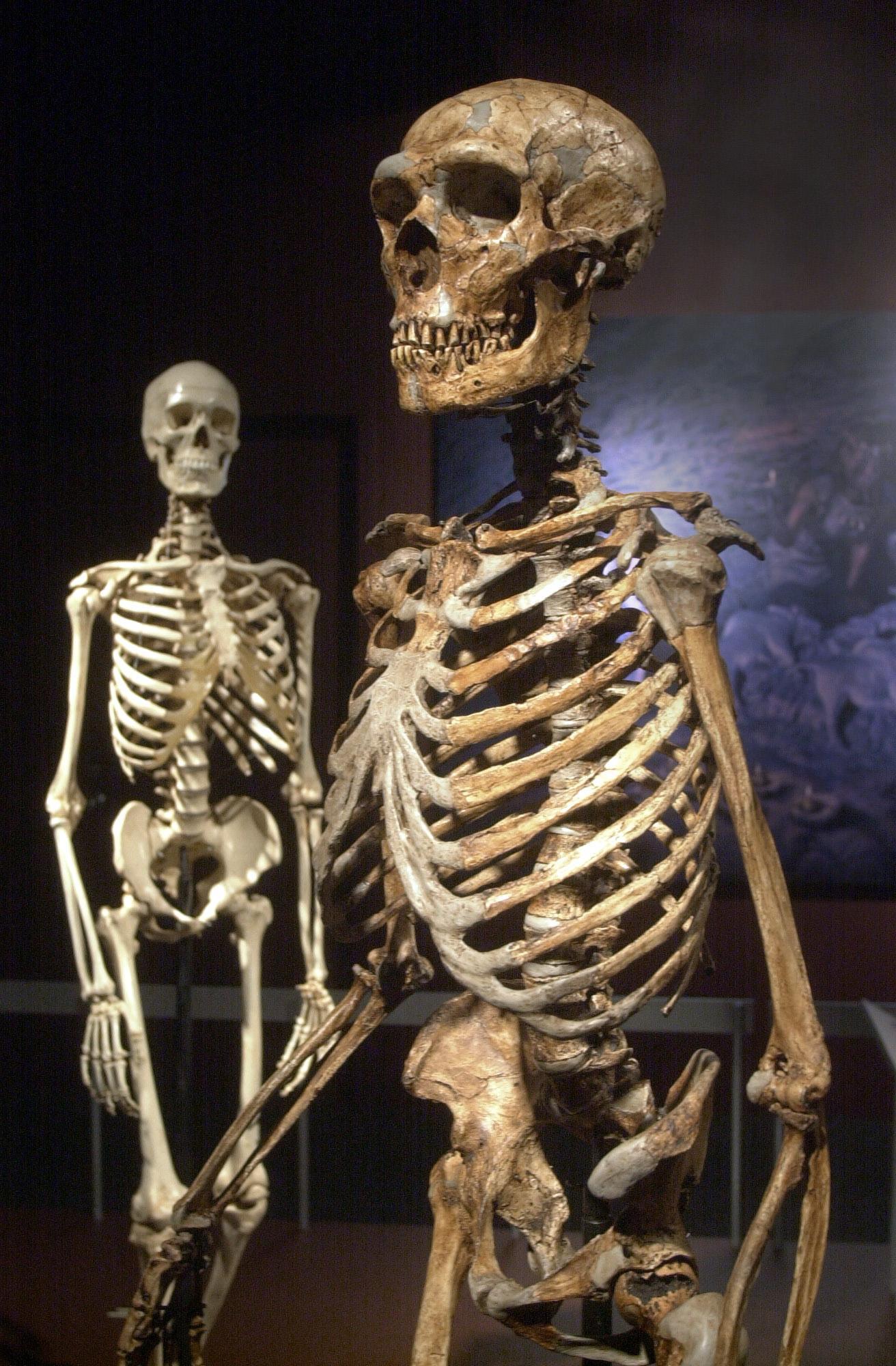 Skelett av neandertalmänniska, i förgrunden, och modern människa, i bakgrunden. De två arterna samexisterade i Europa under en period av 5000 år.