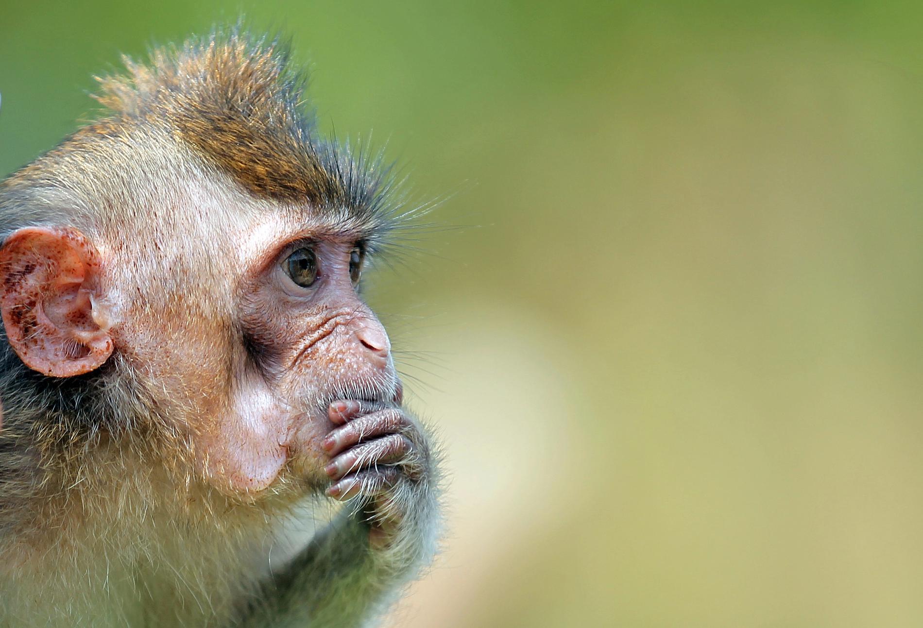 Makaken på bilden är inte makaken med hjärnimplantaten. Arkivbild.