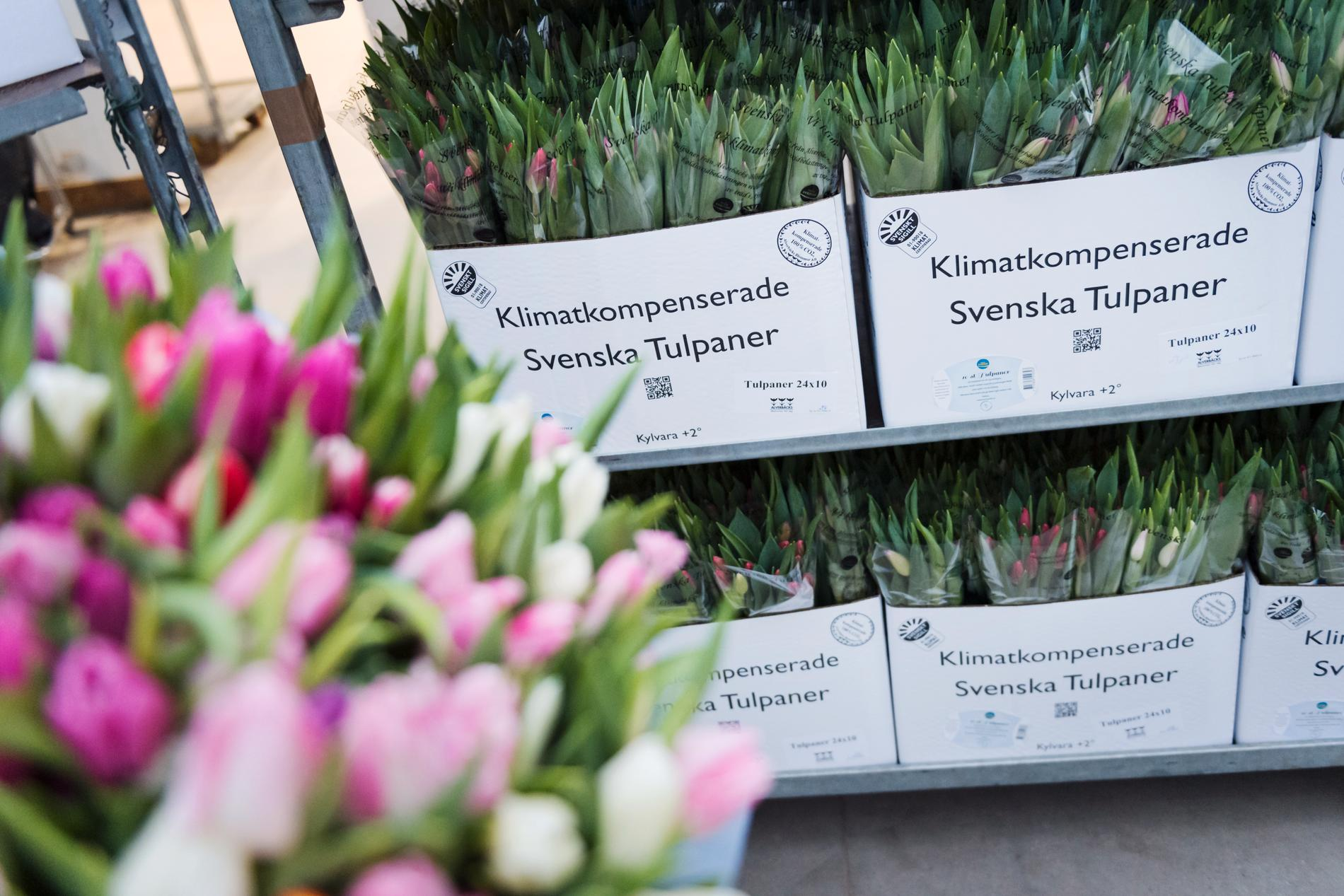 Det odlas 160 miljoner tulpaner i Sverige. Arkivbild.
